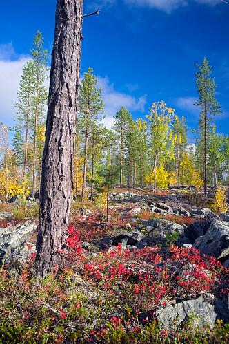 Autumnal colours, Lapland