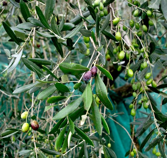 Villa Orsi, Olive pronte per la raccolta