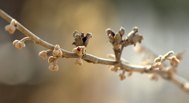 Hamammelis vernalis