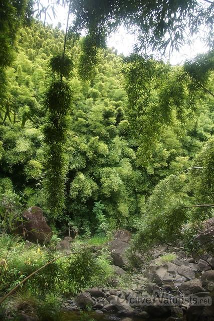 bamboo forest 0003 Na'ili'ili-haele, Maui, Hawaii, USA