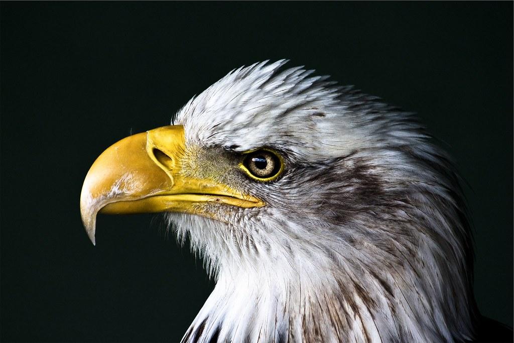 Foto gratis de un águila calva en primer plano