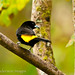 Flame-rumped Tanager, male