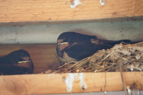 Swallows (Hirundo rustica) on nest