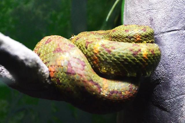 Shy Eyelash Viper