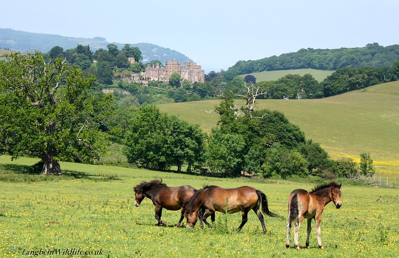 Exmoor Ponies above Dunster Castle