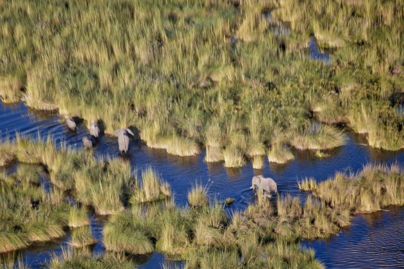Elephants in the Okavango Delta.