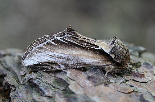 Swallow Prominent Pheosia tremula Tophill Low NR, East Yorkshire May 2013