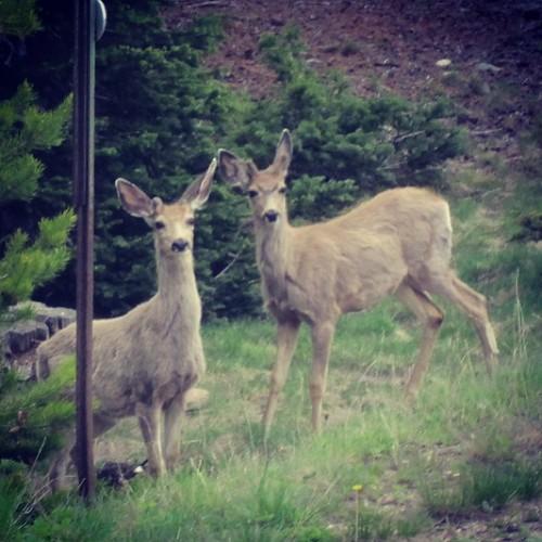 Deer #colorado #rockymountains by @MySoDotCom