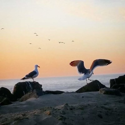 seagulls on the Oregon Coast beach