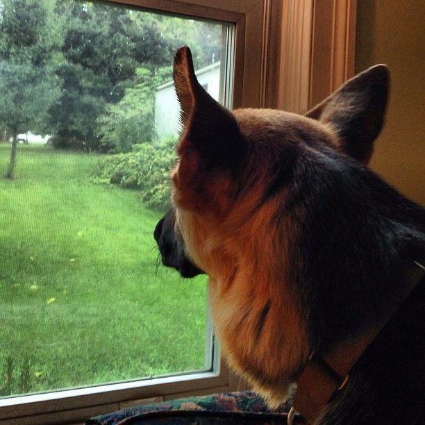 Waiting for @guionpratt to come home. #germanshepherd #pyrrhagram