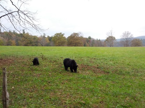 bears in cades cove