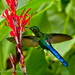 Violet-tailed Sylph, male