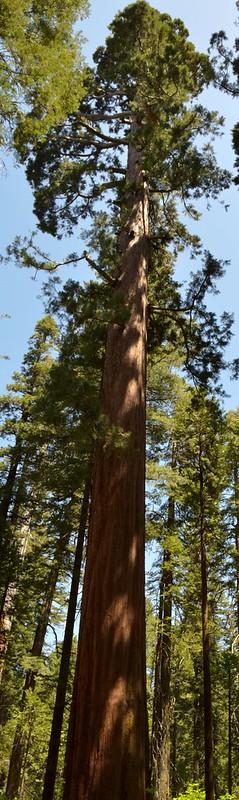 Big Trees 08