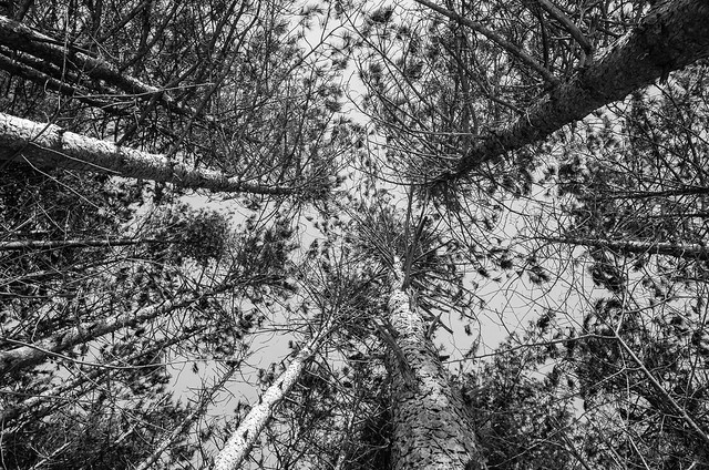 Pine grove looking up