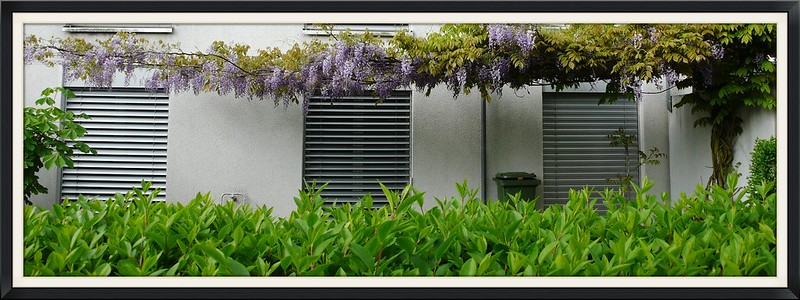 The wisteria in the front garden