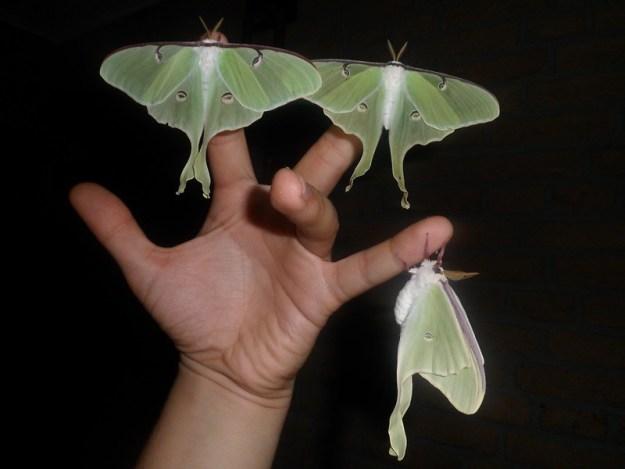 12811641765_de897a1a33_c The Surprising Beauty of Gentle Giant Moths Random
