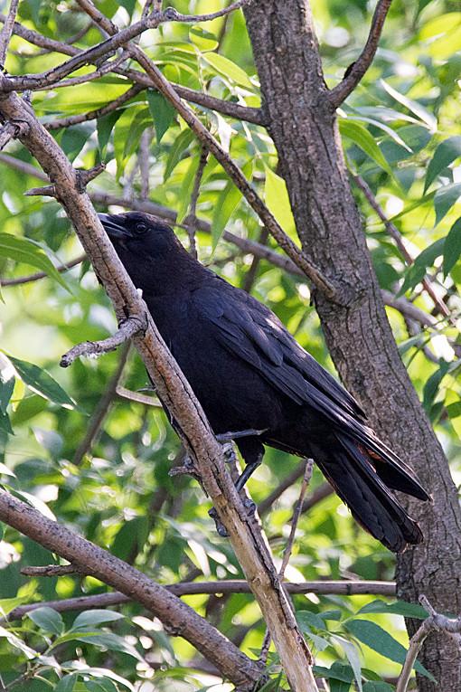 _DSC1166 Raven