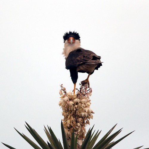 A crested caracara atop a yucca flower.  Photo by Brendan McGarry