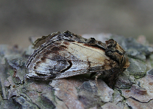 Pebble Prominent Notodonta ziczac Tophill Low NR, East Yorkshire May 2013