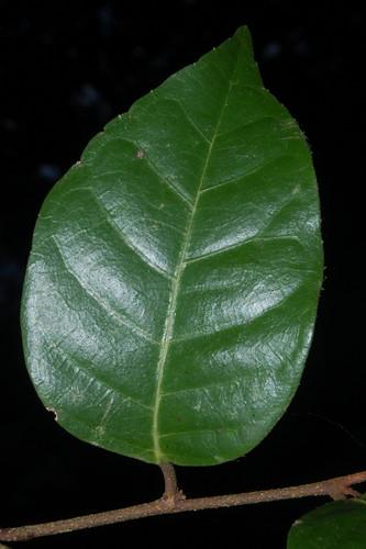 Trophis scandens DSC_0755 (2)