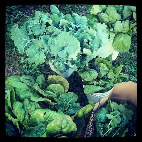 20131004. 20 pounds of greens from Fall Creek Gardens for the Mid-North Food Pantry.
