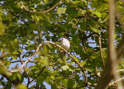 Pied Flycatcher I