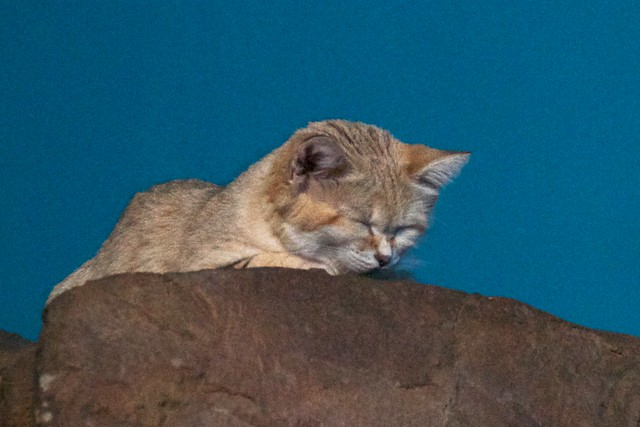 Sand Cat Nodding Off