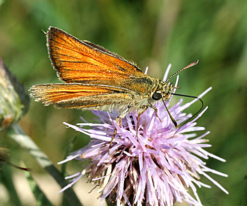 Small Skipper Thymelicus sylvestris Tophill Low NR, East Yorkshire July 2013