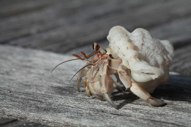 Hermit crab II