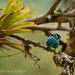 Beryl-spangled Tanager, (tangara nigroviridis)