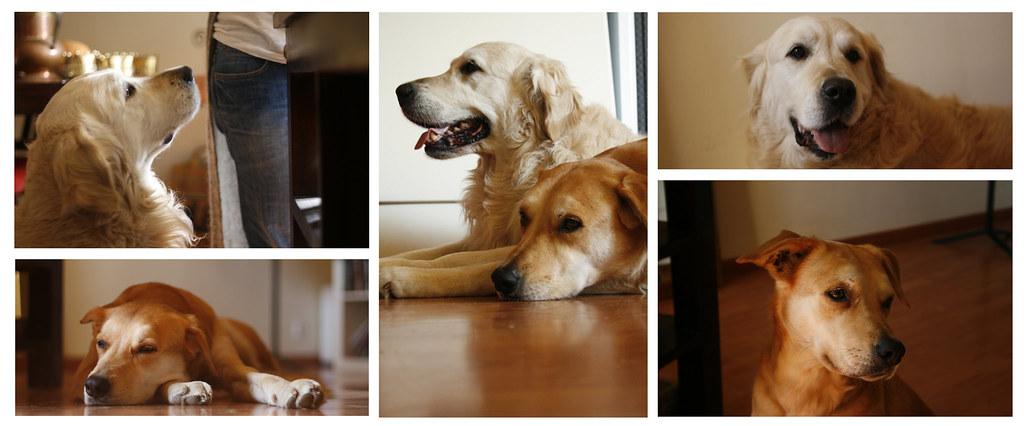 Collage gossos