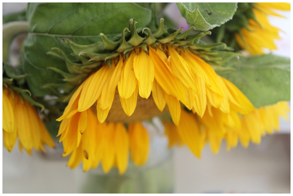 201307_sunflower1