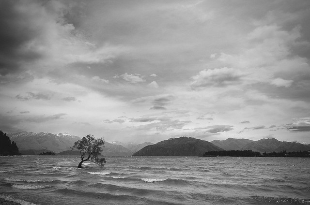 Lonely Wanaka tree in BW