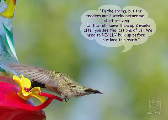 Hummingbird Dialogue 8