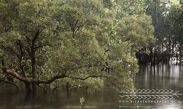 mangrove forest in Bacon Sorsogon