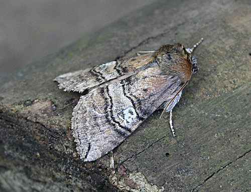 Figure of Eighty Tethea ocularis Tophill Low NR, East Yorkshire June 2013