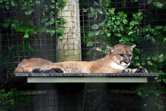 Relaxed Cougar