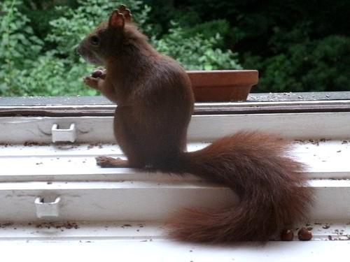 Eichhörnchen setzt sich in Positur