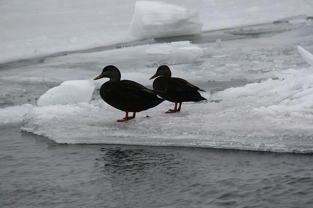 American Black Ducks (Anas rubripes)