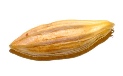 Elaeagnus triflora DSC_1140