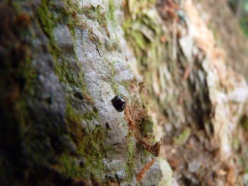 Heather Ladybird on Giant Redwood