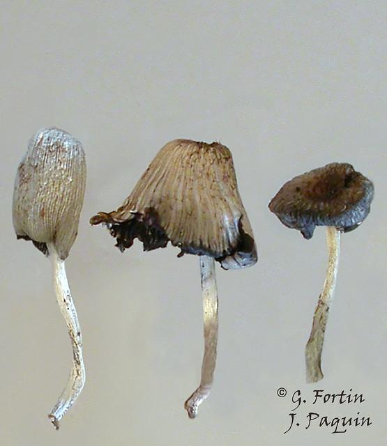 Fig-3 Coprin, lyse du chapeau