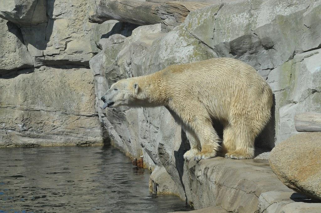 Eisbär Lloyd  im Zoo am Meer in Bremerhaven