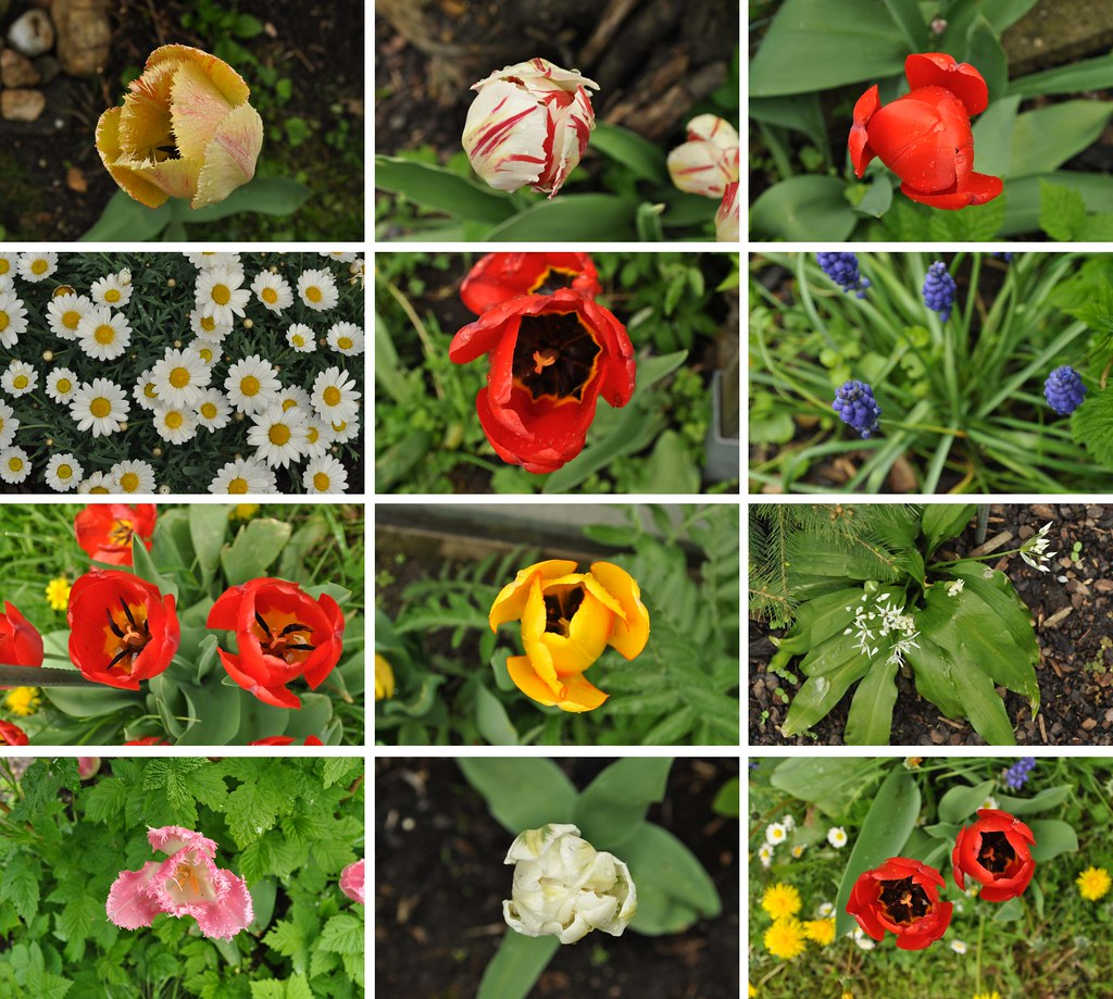 _flowers_tulips