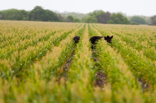 Wild Pigs in a corn field outside Laguna Atascosa.  Photo by Brendan McGarry