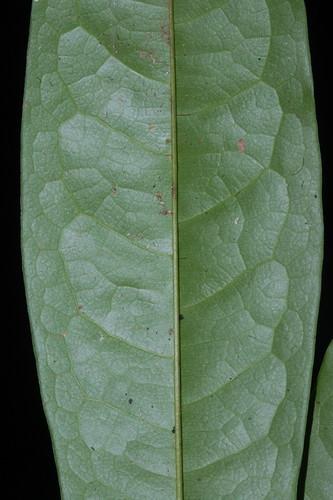 Haplostichanthus ramiflorus DSC_0778