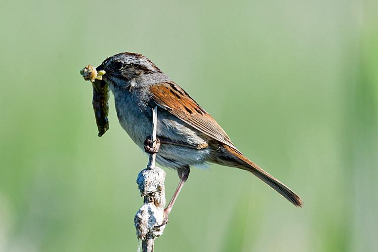 _DSC0887 Swamp Sparrow