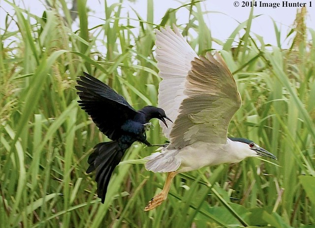 Great-tailed Grackle Attacks A Black-crowned Night Heron - Miller's Lake, Louisiana (From May)