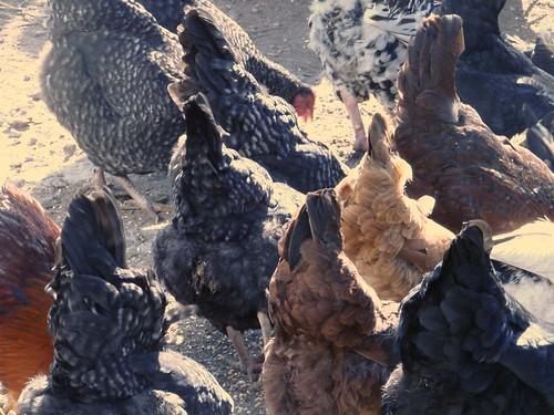 chickenbutts