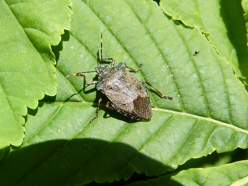 Troilus luridus Bronze Shieldbug Tophill Low NR, East Yorkshire May 2013